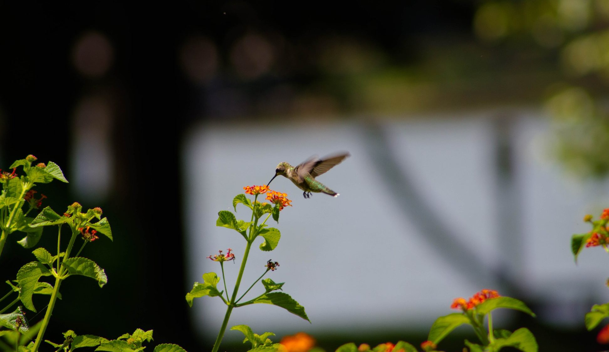 Hummingbird at Sunrise Point at Cedar Creek Lake